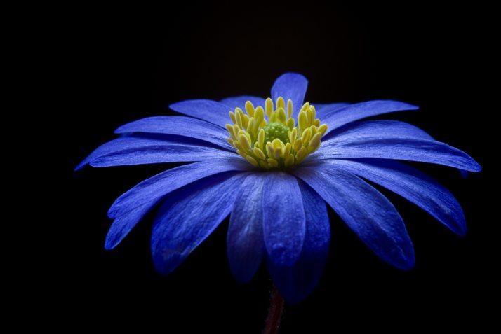 anemone-apennina-anemone-blanda-bloom-73813